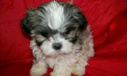 Mal-Shi Babies COMING SOON! Get on our waiting list today! Due Saturday December 28th, Puppies will not be ready for your home until February 2014! Mom is purebred Imperial Shih Tzu solid black and da