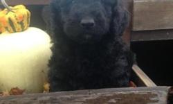 Charlie is a the hyper one of the bunch. Beautiful dark black and always willing to play. We would love to take time and have you come meet our puppy and human family! We have 5 children so these pups