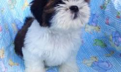 We have a beautiful, healthy, red/white champion line male puppy available for adoption. Born July 13, 2015. The Shih Tzu is a great go-to family pet, because of its small size and its need for compan