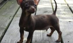 I have a CKC registered adorable short haired male Chihuahua. He is Red with brown markings & white spot on chest. He was born March 13,2015 and will be 3 to 5 lbs. He has been wormed and had 1st pupp