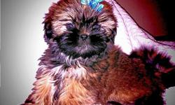 I have a very sweet loving little male Shih Tzu. He is beautiful these pictures don't show just have pretty he is. He is a must see! Shih-Tzu's are very sweet and loving dogs, they make great pets for