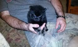 Pomeranian puppies available. Registered. Utd on shots and both of the parents are on site. 9314341853