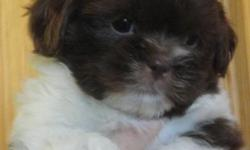 We have 7 cute little boys available. These puppies are great with kids and are non-shedding. They are litter box trained with wood pellets and have been to the vet for a health check and their first