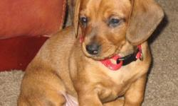 Very beloved Dachshund female is nearly ready for their permanently homes. Gretchen (female $500) is very smooth in color. She is consuming dry food now and drinking well. They have actually only had