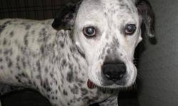 Dalmatian - Caroline - Large - Young - Female - Dog Caroline the Beautiful! This elegant lady came to us Via Interstate 44 .... running down the highway, heavily pregnant with major skin issues. Ten p