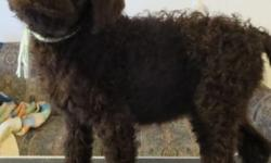 AKC Brown Female Standard Poodle Puppy available. Up to date on shots from our local Vet, Wormed regularly by our Vet and at home, Comes with a 2 year written genetic health guarantee. Dew claws remov