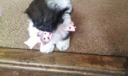 Darling small female AKC Shih Tzu puppy ready to go to new home today (her birthday was August 24th) MIMI has very beautiful coloring - brown, white and black hair that is so soft. She has a wonderful