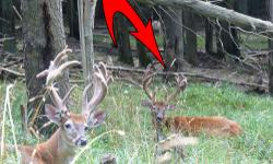 Huge discount on this whitetail!  He is 6.5 yrs old this yr and starting downhill, big typical 7X7 or 8x7 mainframe.  You dont find many bucks this size at this price! (Usual cost of this class buck i