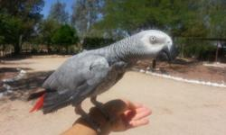 Very sweet DNA-sexed female Congo African Grey. Was purchased as a hand-fed baby from reputable breeder. She is approximately 3 years old and is banded. Owner is having health issues, must sell. She c