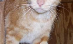 Domestic Short Hair - Tiger - Small - Young - Female - Cat CHARACTERISTICS: Breed: Domestic Short Hair Size: Small Petfinder ID: 28088130 ADDITIONAL INFO: Pet has been spayed/neutered CONTACT: Good Sh
