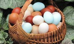 On Our Farmstead & Hobby Farm We Raise Healthy & Happy Pastured 'Heritage Breed' and Easter Egger 'Pampered Pullets' Who Lay Large 'Multi-Colored' Eggs which we sell both directly from The Farm and -