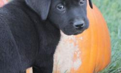 Avalanche is one of 10 English black lab puppies and is ready for her forever home! All photos shown are Avalanche. She is one of the larger puppies with a very large head and big feet. Avalanche love