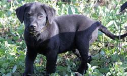 Terrain is one of 10 English black lab puppies and is ready for her forever home! All photos shown are Terrain. Terrain always has her nose to the ground! She will likely be 70+ pounds. Both parents c