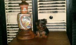EXTREMELY TINY & COMPACT MICRO YORKIE MALE, HE IS ALREADY 5 MONTHS AND A WEEK OLD, SO WHAT YOU SEE IS WHAT YOU GET, AND HE LOOKS LIKE HE'S ONLY 6 TO 7 WEEKS OLD, AT 21 WEEKS OLD. THEY GROW TO TILL 5 M