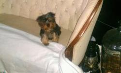EXTREMELY TINY & COMPACT MICRO YORKIE MALE, HE IS ALREADY 5 MONTHS AND A HALF, SO WHAT YOU SEE IS WHAT YOU GET, AND HE LOOKS LIKE HE'S ONLY 6 TO 7 WEEKS OLD, AT 22 WEEKS OLD. THEY GROW TO TILL 5 MONTH
