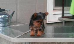 EXTREMELY TINY & COMPACT MICRO YORKIE-POO'S, THESE TINY PRECIOUS YORKIE-POO'S ARE ADORABLE. THEY ARE 4 MONTHS AND A WEEK OLD AND WEIGH 1 POUND, FOR A MICRO YORKIE-POO AT 17 WEEKS OLD, AND A POUND THAT