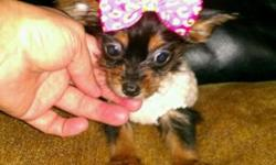 EXTREMELY TINY & COMPACT MICRO YORKIE-POO'S, THESE TINY PRECIOUS YORKIE-POO'S ARE ADORABLE. THEY ARE 4 MONTHS AND A WEEK OLD AND WEIGH 1 POUND, FOR A MICRO YORKIE-POO AT 17 1/2 WEEKS OLD, AND A POUND