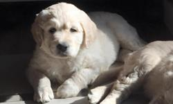 """Black Collar Male"" He is an F1 goldendoodle mom is an 88 lb. full english golden retriever with OFA hips, elbows, heart, and eyes. Dad is 75 lb. apricot standard poodle. Puppies have had dewclaws rem"