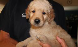 F1b Rare Silver/ Black Goldendoodle Puppies ~2 males/1 female available F1b Rare Silver/ Black Goldendoodles ~2 males & 1 female available~ Our puppies were born black, 1 is already turning silver and