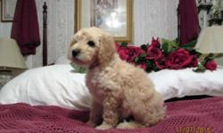We are proud to announce that we have a beautiful little of 10 healthy CKC registered goldendoodle puppies born September 18th, 2015. Seven weeks old as of 11/07/2015! Puppies will be ready for their
