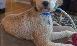 We have a 16 month old Male F2B Mini-Goldendoodle named Kona. We recently had our first child, and we are feeling the stress of managing time between them to make sure Kona is getting what he needs. W