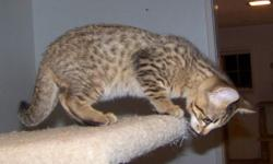 Dad is a registered SBT Savannah Cat from Hannah Savannahs in Florida, mom is Savannah X Bengal. He has softer fur than most Savannah Cats due to his Bengal heritage. Born 08/31/15. Wormed & vaccinate