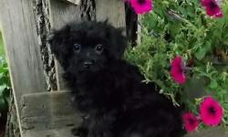 Cute little Morkie-Poo male puppy is waiting for his forever family! Morkie-Poos are a Morkie(yorkie/maltese) and Poodle mix. They are wonderful little dogs! Morkie-Poos are adorable like the Morkie a