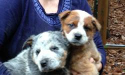 Gorgeous one red and one blue male heelers. 9 weeks old and allow teddy bears. Mother is red heeler and Papa is blue. Functioning pets. Great family members pet dog and very clever. If interested phon