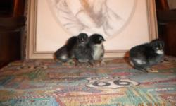 We have some 3-4 day old pure blooded french black copper maran chicks for sale for $4.00 each!!! These will lay the DARK CHOCOLATE colored eggs!! call 417-235-8860 if interested from 2pm till midnigh