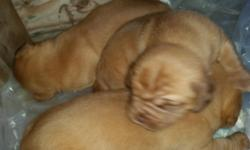 French mastiff puppies born Dec. 13, 2015 other litter born Dec. 19, 2015. Red mask and other litter has black mask. Have payment plans, taking deposits. Puppies will have first 2 shots, wormed and ve