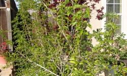 DescriptionI have many gorgeous shiny leaved avocado trees for your garden and numerous bare leaf peach trees in containers available for instant shipment and planting. These fruit trees will certainl
