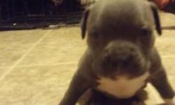 4 female and 4 male american bully pupois for sale. Females are 1500.00 and males are a 1000.00. Mom is a full blooded. Blue american bully and dad is a full blooded blue pitt. We are looking for lovi