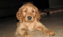 If you are looking for a loving family member, look no further as you have found a beautiful AMERICAN KENNEL CLUB Golden Retriever puppy. Now accepting deposits on puppy from loving family breeders. P