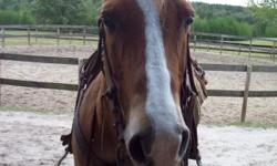 he is ten years old and 14.1 hands he rides good and will go into the water, I belive he would be best for an intermediate rider, not a begginers horse, he was a rescue horse and he needs a good home,