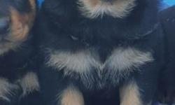 AKC German Rottweiler pup. Turned 4 weeks old on October 15..Pups are being wormed every 2 weeks and will have 1st shot done at 6 weeks old. Tails and dew claws have been removed. Parents both on site