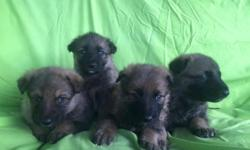 10 CKC German Shepherd Puppies for Sale! Only 6 avaliable: 4 Females and 2 Males! Father CKC-AKC Registered and from the RinTinTin Blood Line! All shots and wormer, ready to go soon! Born September th