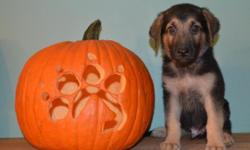 We have Full Breed AKC German Shepherd Puppies. A Litter of 7 beautiful puppies, 4 males & 3 females, born September 10, 2015. Parents are on premises. Both parents are loving & energetic, they are th
