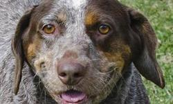 German Shorthaired Pointer - Fat Albert - Large - Adult - Male Hey, hey, hey...he's Fat Albert! We're really not into body shaming around here, but Fat Albert unfortunately earns his name; this chocol