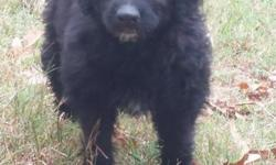 """These are the last 2 female F1's. Pups have been thru the """"Super Puppy Program"""" Super smart cuties. And nice lush coats. Mom is our Standard Poodle, Lindt Truffle. She is a Chocolate/Cream Phantom 45#"""