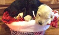 Our sweet, gentle, loving pet, Lacey has had a litter of adorable Goldendoodles. We have 4 black females, 2 black males, 4 golden females, and 3 golden males. Puppies are socialized and used to kids h