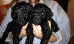 3 Black beautiful Male Double Doodles - ready for thier new home November 1, 2015. Deposits being accepted! Check us out on FaceBook @ Modestina's Double Doodles Double Doodle (North American Retrieve