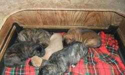 Gorgeous English mastiff puppies! Apricot fawn male, Silver fawn female, Apricot brindle male, Silver brindle female. Born 9/20 -- ready to go November 15th. Have 1st vaccines and deworming. Vet check