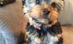 This yorkie girl is a precious little pick of the litter CKC registered baby who is looking for her forever home. She is 10 weeks old and cute as a button. She is crate trained and doing very well wit