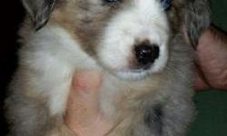 I have two little boy pups available. One red tri with one blue eye and a blue merle with 2 blue eyes. They are very symmetrically marked and come from a very sweet mom and dad. Great temperaments. Ra