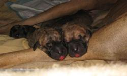 Purebred Great Dane puppies, gorgeous brindles and fawns! The puppies are four weeks old now, they were born Aug.12 and will be ready to go home with you Oct. 7. They will go to the vet for first chec