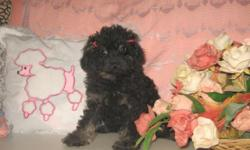 Stunning Purebred Teeny Tiny Toy Poodle Puppy ~ CKC Registration ONLY ~ 11 Weeks Old - (Teeny Tiny Pup, Around 23 Ounces on Weight) ~ Female Pup - Black & Tan Phantom Color - $650 ~ Up-to Date on Shot