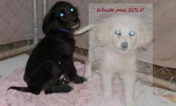 Cute Great Pyrenees mom and Anatolian Shepherd / Lab mix dad had this pretty baby She has the extra dewclaws like the Pyrenees, but they are single claws instead of double. She is the one on the left