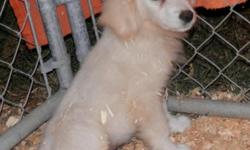 Cute Great Pyrenees mom and Anatolian Shepherd / Lab mix dad had these pretty babies. They all have the extra dewclaws like the Pyrenees, but they are single claws instead of double. { 636} seven thre