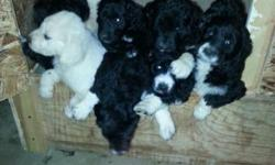 Handsome Andre, our black, 65 lb. Standard Poodle and beautiful Ella, our 105 lb. Greater Pyrenees / Newfoundland, have blessed us with 11 gorgeous puppies. We have 1 black/white female and 1 cream ma