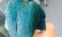 This beautiful hand fed Blue Mutation Conure was hatched May 16, 2015. Extremely tame and will be a nice family bird. This bird along with many others may be seen at Adventure Birds of Bon Aqua.